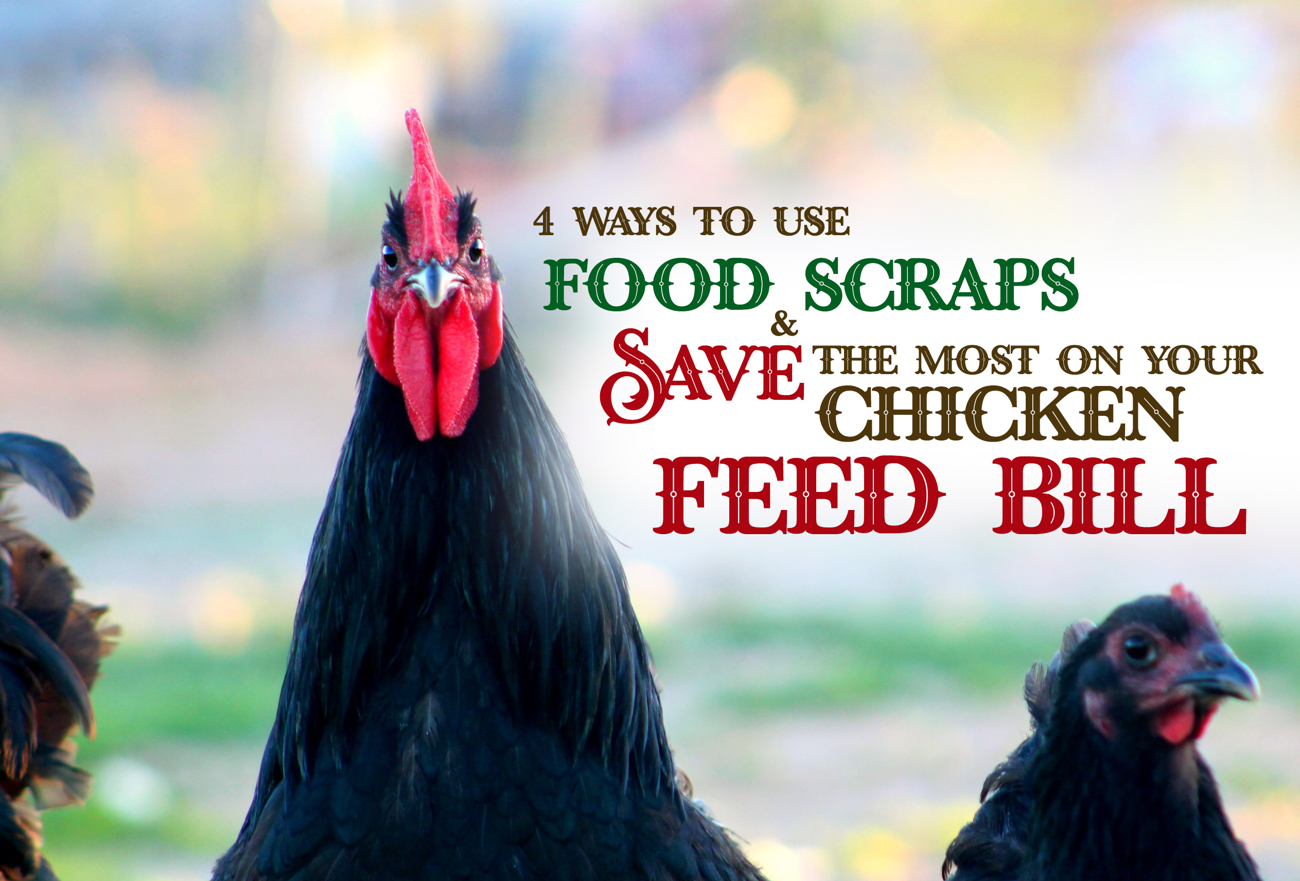 Learn how you can save more money on your chickens' feed bill by feeding them your food scraps. Beyond the basic & holistic ways you can use your kitchen scraps. For those who like sustainable & DIY.