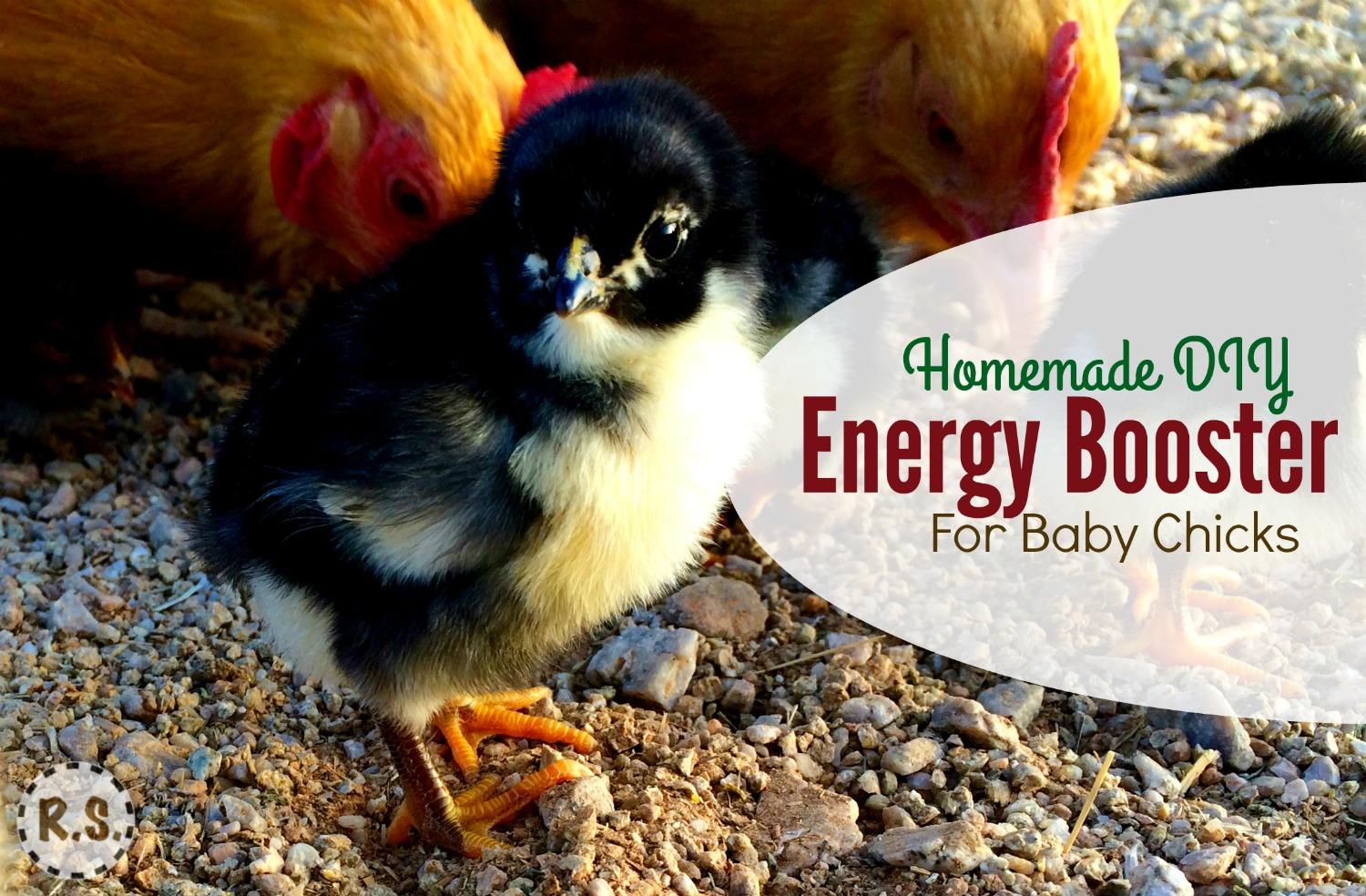 Raising baby chicks? Here's a DIY energy booster or electrolyte recipe you can put in their water. Great for their health & easy for beginners. Important to getting your chicks off to a great start!