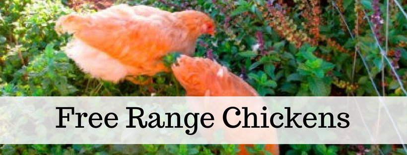 Here's your free, online handbook for raising chickens. A guide to saving money, growing feed, health, coops, tractors, frugal ideas and more!