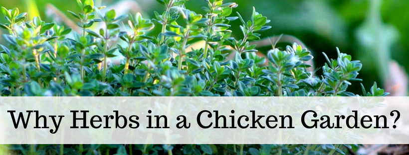 Raising Chickens: The Best Beginners Guide
