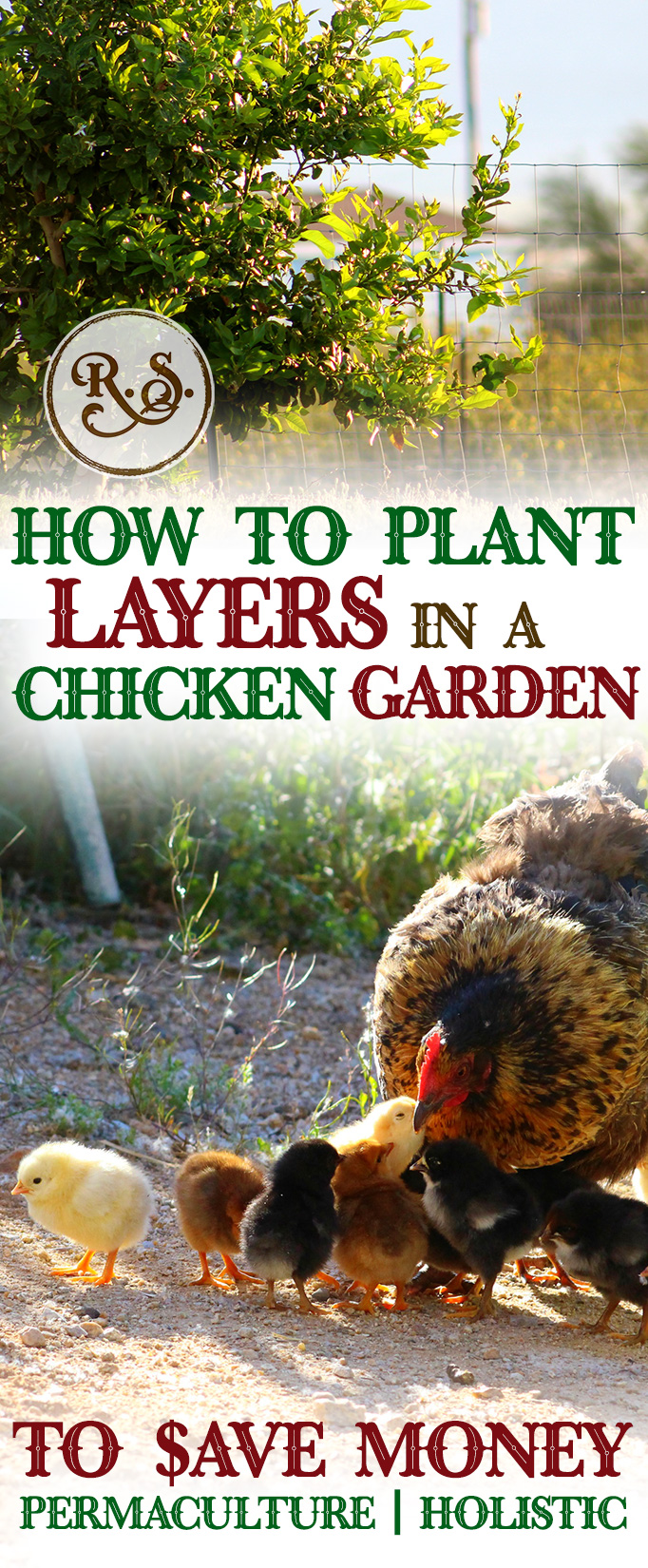 Grow a sustainable garden for your backyard chickens to save money on their feed bill. Plant herbs, shrubs and trees for a holistic, permaculture homestead. Great DIY ideas for beginners and beyond.