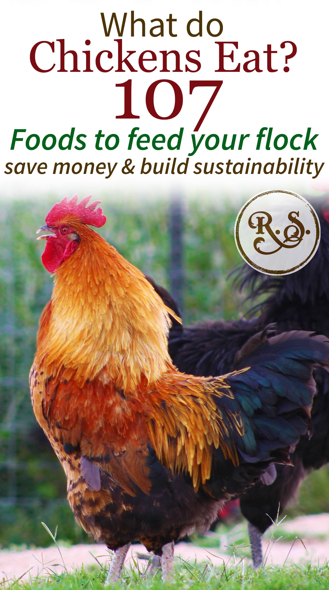 What do chickens eat? Here is your guide to feeding chickens. With 107 kinds of food to feed your backyard hens and roosters. Perfect DIY list of ideas to have for beginners.