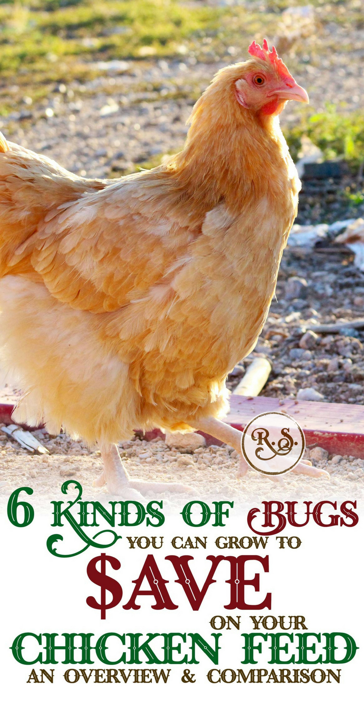 Cut your chicken feed bill by growing bugs. Here's an overview to help you decide which bugs are best for your chickens. Be more self-sufficient by raising your own chicken food.