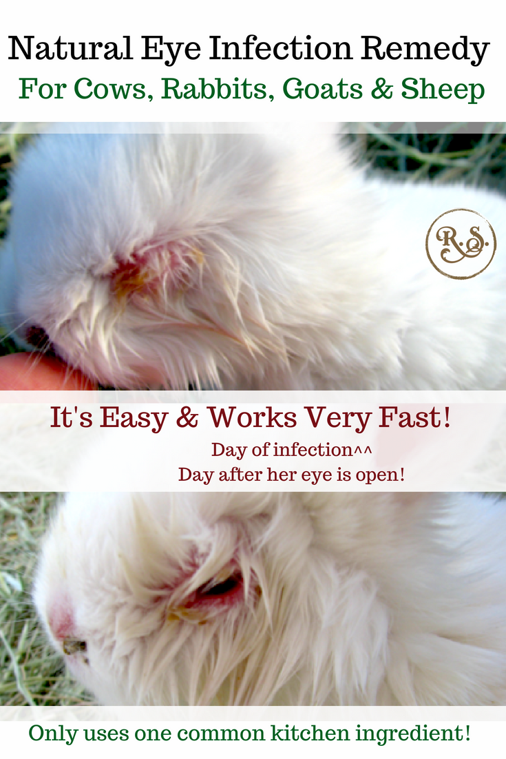 A natural eye infection remedy for your cow, rabbit, goat or sheep. It's a simple, easy and a very effective homestead remedy that I tried on our animals a while back. I've had great results!
