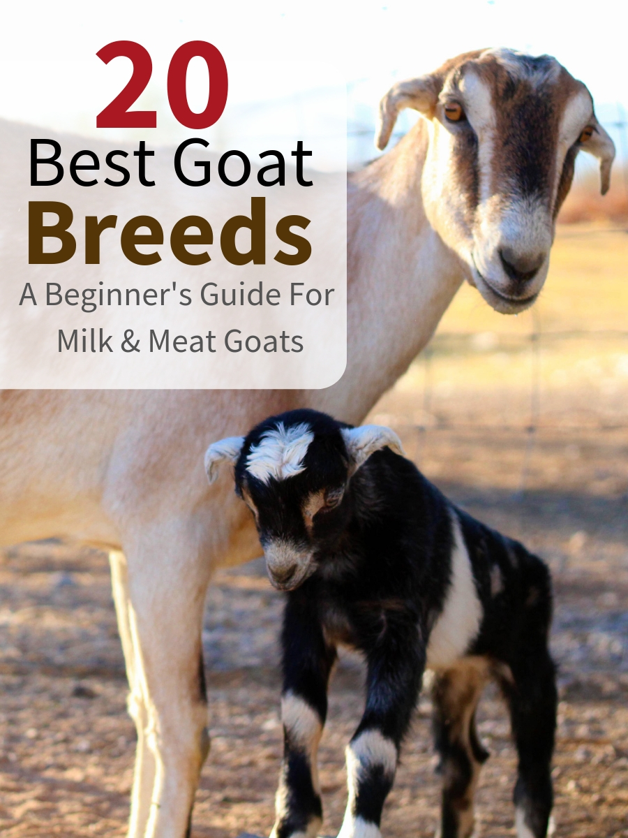 Get the best goat breed for your homestead and you'll be set for years. Milk goats, meat goats and dual purposed goats are all compared in the following easy-to-use guide.