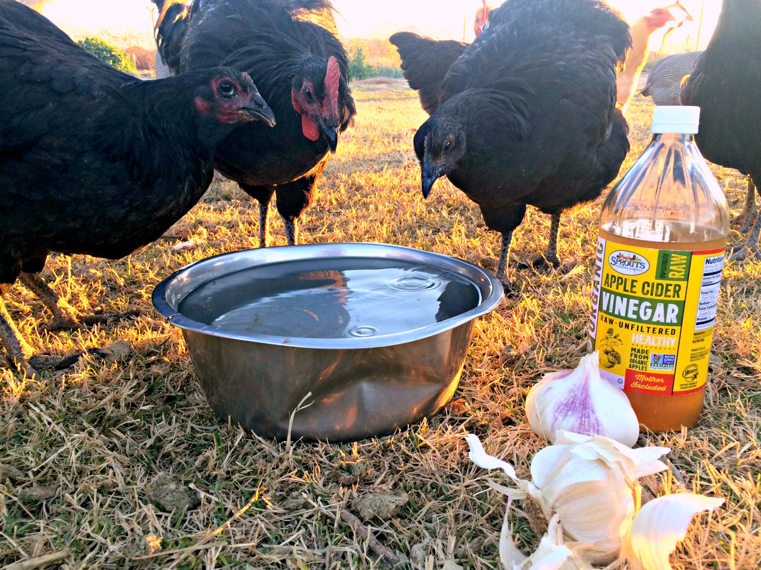 Improve your backyard chicken health, by feeding your hens garlic & apple cider vinegar. It's great for their health. And I'll show you how easy it is to start feeding it to your hens today.