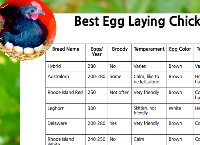 Use my Best egg laying chickens chart to get started with the right birds for you. Start out right and save in the end. Get your own copy of my Best Egg Laying Chickens chart today!