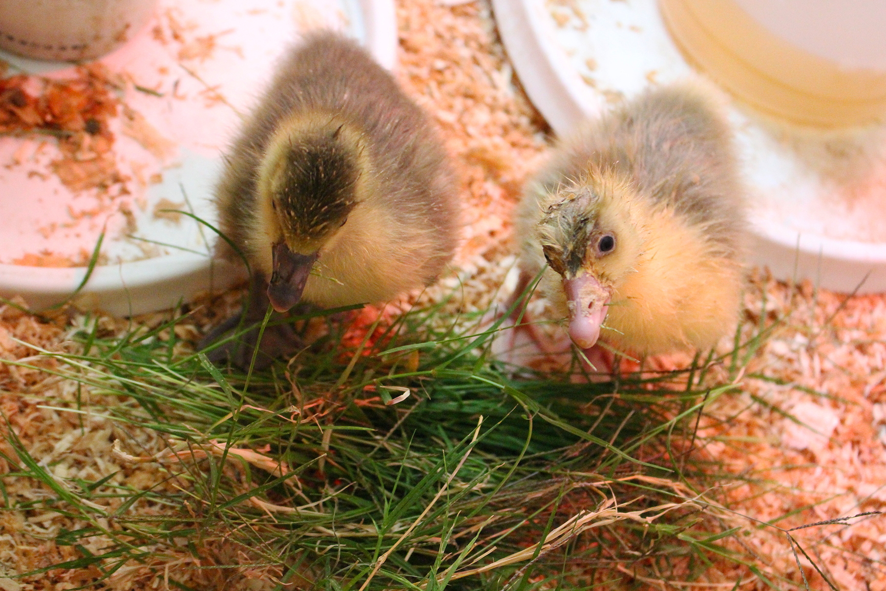 Here are 5 tips to take raising geese to the next level. These are simple tips you can apply to set your goslings on a path to a long, vigorous healthy life. Homesteading beyond the basics!