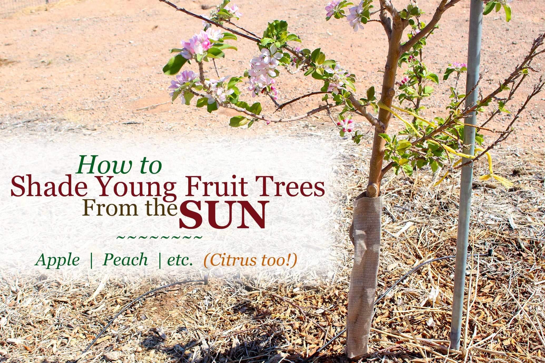 Learn how to protect your young fruit trees from the sun. This is great for both deciduous and citrus fruit trees. Prevent sunburn without the traditionally used chemical paint.