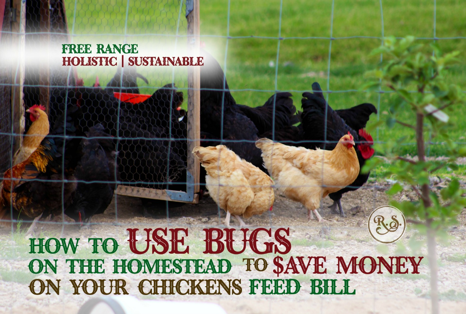 Manage your chickens to eat bugs around your homestead and save money on their feed bill. Small changes are how you get raise sustainable chickens. Your backyard chickens will love the freedom too.