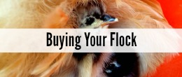 Raising Chickens--5 Things To Consider Before Buying Your Flock