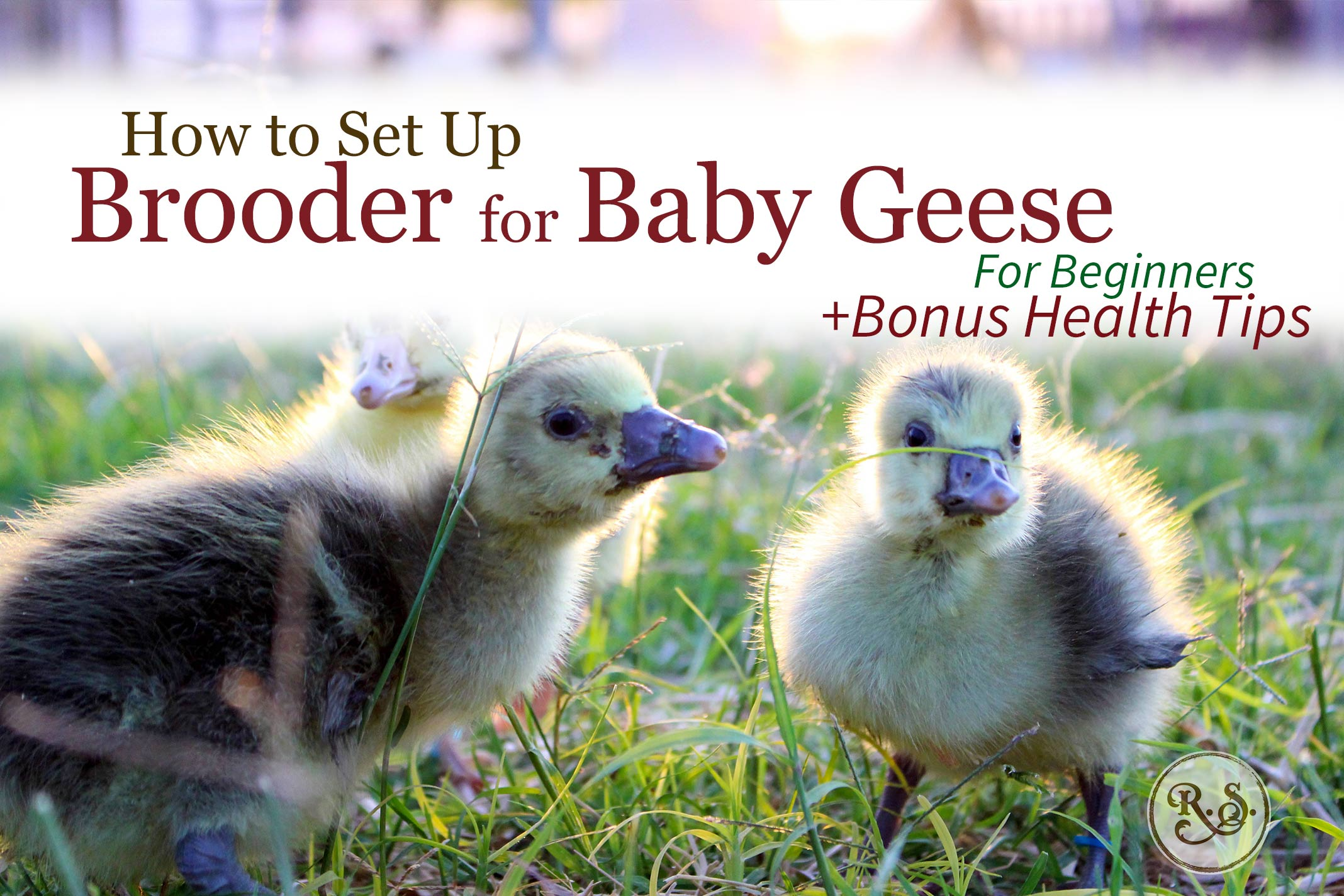 Raising geese starts with baby goslings. Learn how to set up a brooder and get your geese off to a healthy start—for beginners.