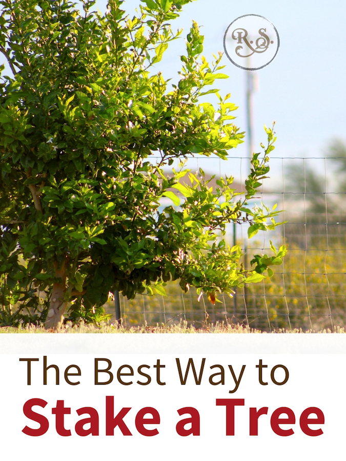 There are lots of ways to stake a tree, but do you know the best way? Learn how to stake your tree the right way today. #gardening #staketree #orchard #homesteading