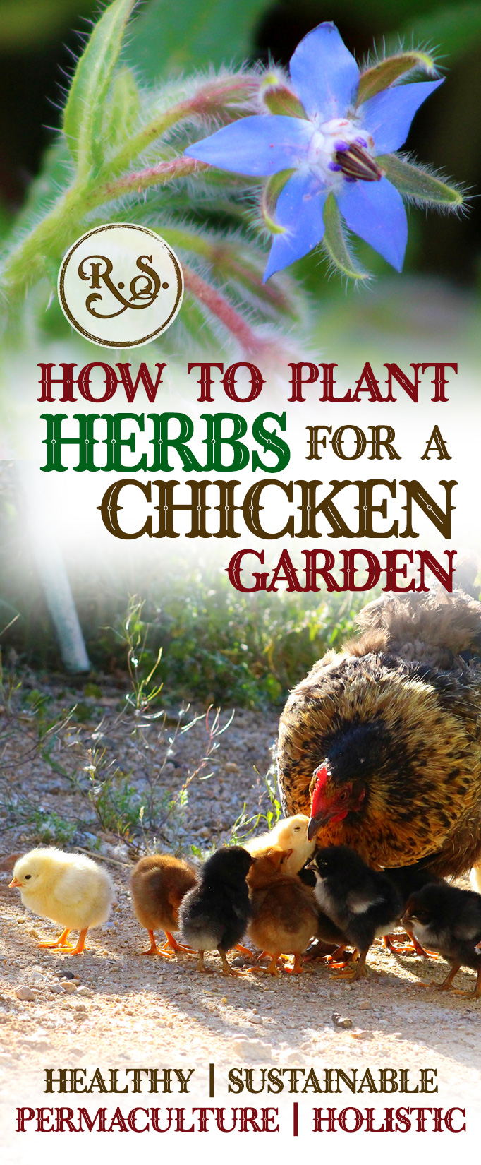 Grow herbs in your sustainable garden for your backyard chickens to save money. Natural health for your chickens—permaculture style. Great DIY herbal health ideas for your hens.