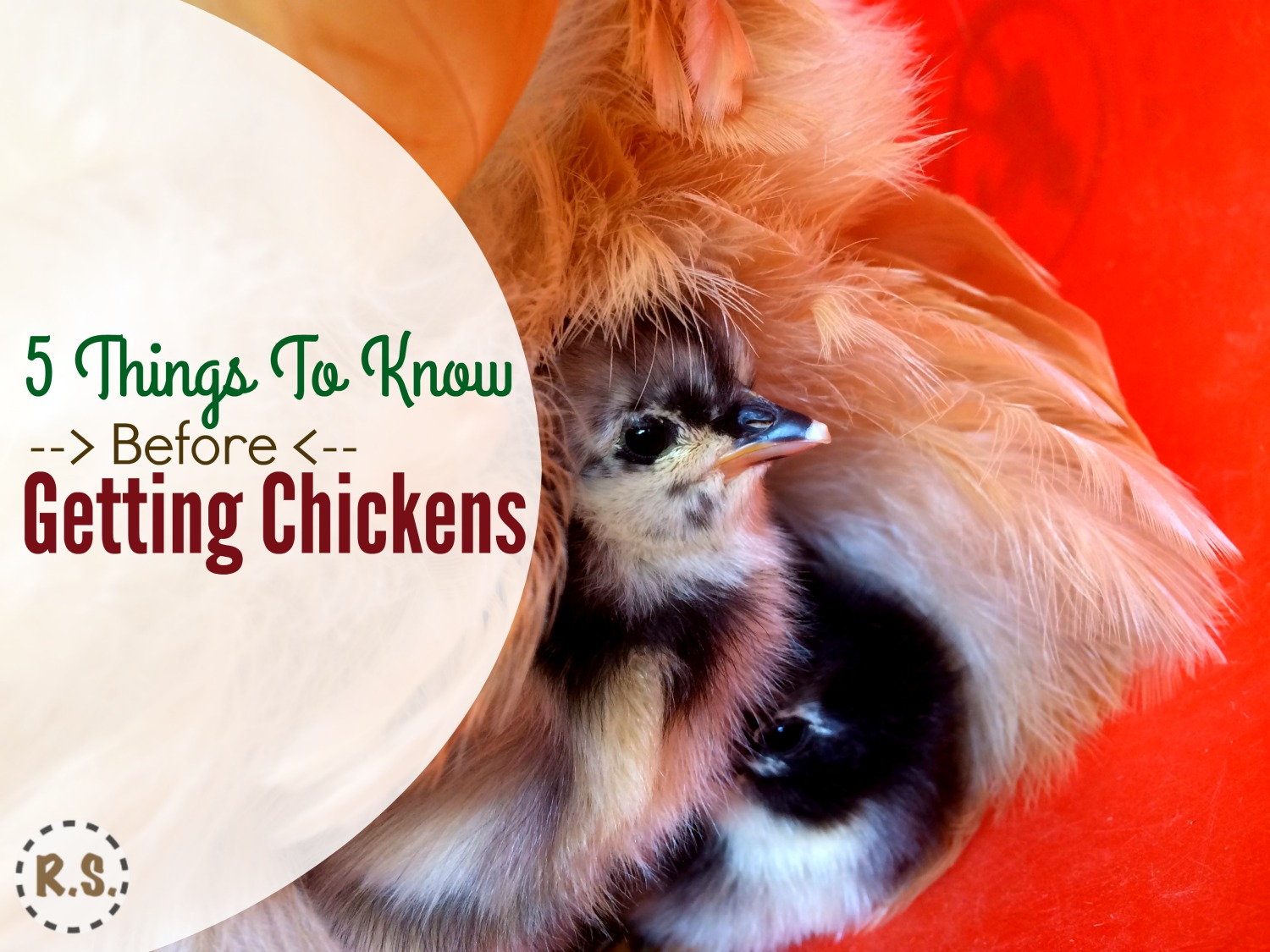 Ready to raise chickens! You'll need to decide where to get them. You can get chicks from your local feed store, order them, or get them from a local breeder. Find the best place to buy your chicks.